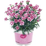 Planta Dianthus Pink Kisses Pote 11