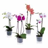 Orquídea Phalaenopsis Especial Pote 15
