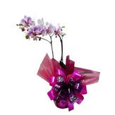 Orquídea Phalaenopsis Especial Pote com 2 Hastes Decorado